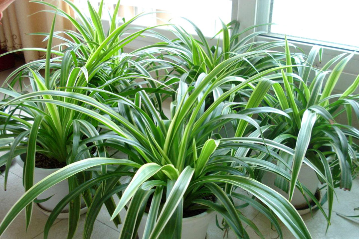 辦公室種植吊蘭可凈化空氣